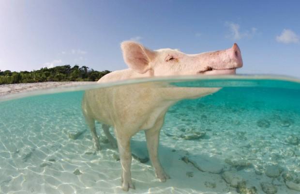 Pig-Beach-1
